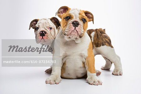 Two English Bulldog puppies Stock Photo - Premium Royalty-Free, Image code: 614-07234783