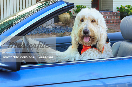 Shaggy white doodle dog driving convertible Stock Photo - Premium Royalty-Free, Image code: 614-07444044