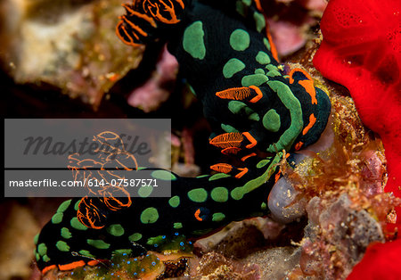 Pair of nudibranchs. Stock Photo - Premium Royalty-Free, Image code: 614-07587571