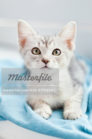 Tabby kitten lying down on blanket Stock Photo - Premium Royalty-Free, Image code: 614-07708201