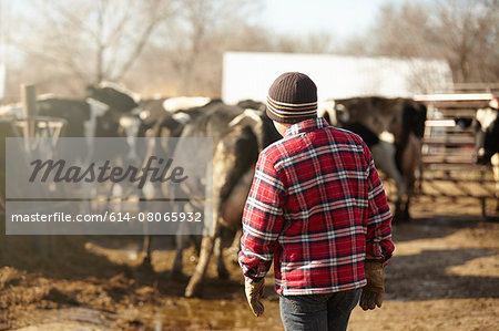 Rear view of boy herding cows in dairy farm yard Stock Photo - Premium Royalty-Free, Image code: 614-08065932