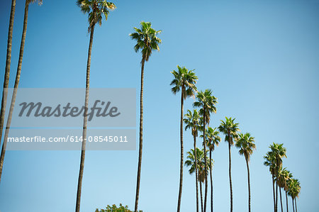 Row of tall palm trees, Los Angeles, USA Stock Photo - Premium Royalty-Free, Image code: 614-08545011