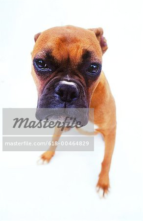 close-up of a bulldog puppy Stock Photo - Premium Royalty-Free, Image code: 618-00464829