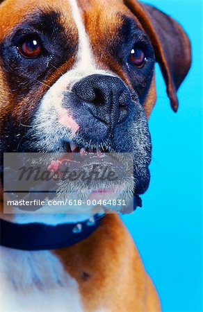 close-up of a bulldog with blood at the side of its mouth Stock Photo - Premium Royalty-Free, Image code: 618-00464831