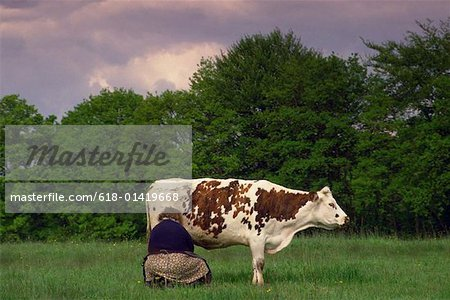 Woman milking cow out in field Stock Photo - Premium Royalty-Free, Image code: 618-01419668