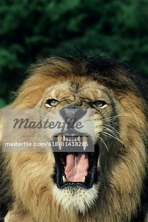 Black-maned male African lion roaring, headshot, Africa Stock Photo - Premium Royalty-Free, Image code: 618-01438285
