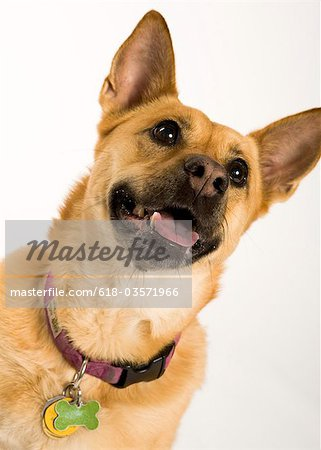 Portrait of a mutt on white. Stock Photo - Premium Royalty-Free, Image code: 618-03571966