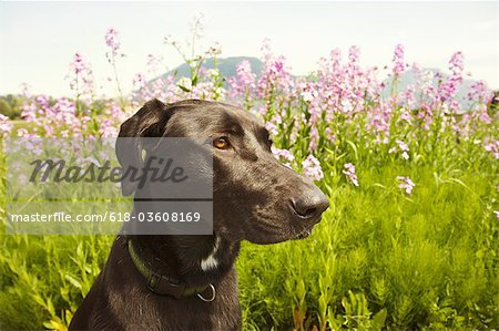 Black dog in field Stock Photo - Premium Royalty-Free, Image code: 618-03608169