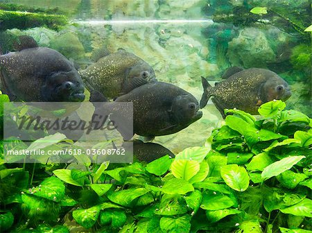 Piranha in aquarium Stock Photo - Premium Royalty-Free, Image code: 618-03608762