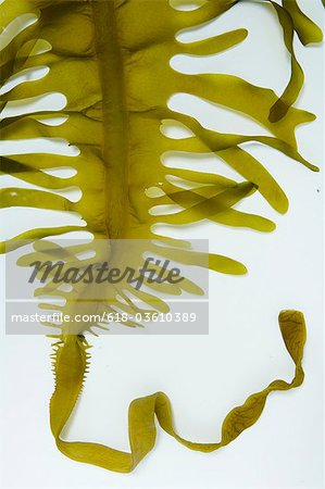 seaweed Stock Photo - Premium Royalty-Free, Image code: 618-03610389