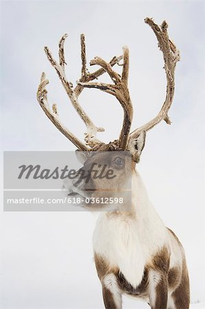 A portrait of a reindeer Stock Photo - Premium Royalty-Free, Image code: 618-03612598