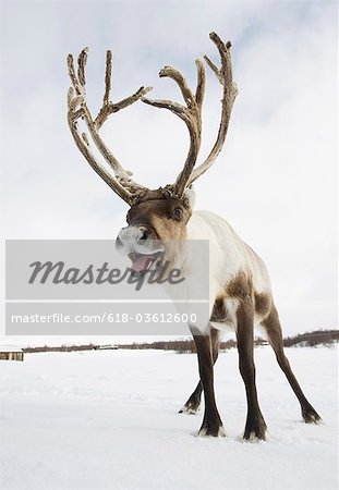 A reindeer standing in the snow Stock Photo - Premium Royalty-Free, Image code: 618-03612600