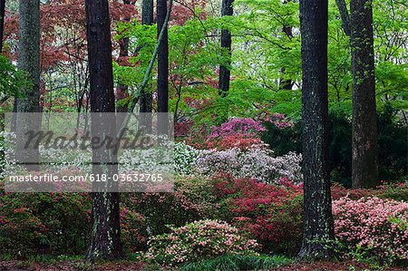 Springtime Callaway Gardens Azelea in Bloom Stock Photo - Premium Royalty-Free, Image code: 618-03632765