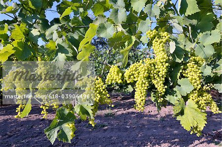 Rows of white grapes Stock Photo - Premium Royalty-Free, Image code: 618-03906496