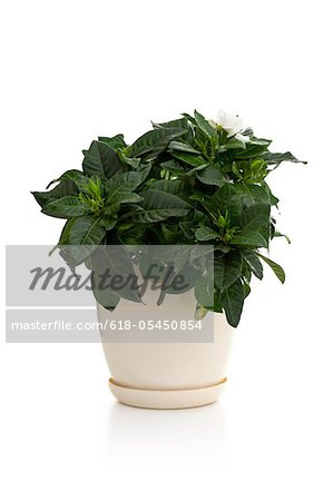 Gardenia in the pot Stock Photo - Premium Royalty-Free, Image code: 618-05450854