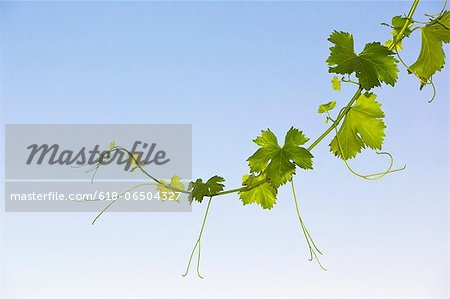New shoot on grape vine. Stock Photo - Premium Royalty-Free, Image code: 618-06504327