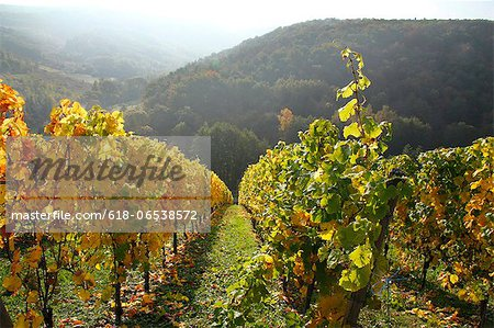 vineyard in autumnal colours, Saar Valley, Germany Stock Photo - Premium Royalty-Free, Image code: 618-06538572