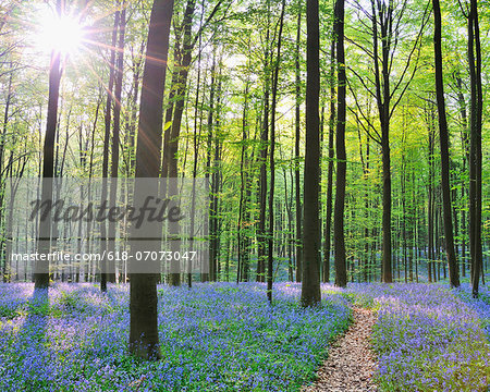 Path through Bluebells Forest Stock Photo - Premium Royalty-Free, Image code: 618-07073047