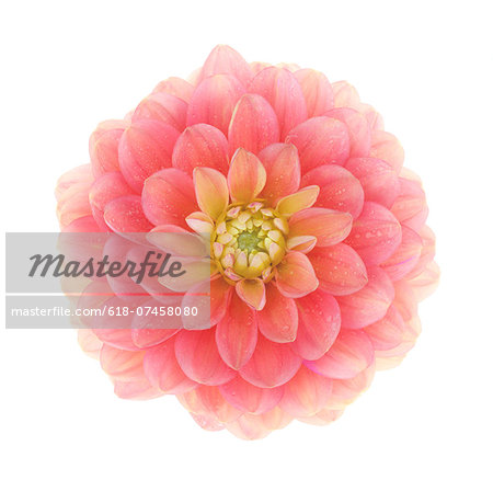 Pretty dahlia 'Chocolate Candy' in close-up. Stock Photo - Premium Royalty-Free, Image code: 618-07458080