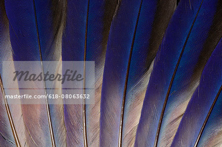 Wing feathers of Roufus crowned Roller Stock Photo - Premium Royalty-Free, Image code: 618-08063632