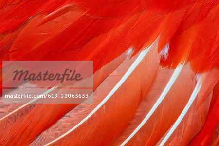 Chilean Flamingo Wing Feathers Stock Photo - Premium Royalty-Free, Image code: 618-08063633