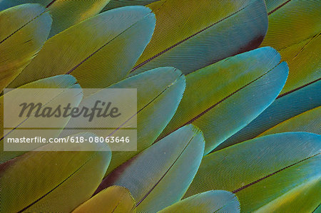 Feather Pattern Design Greenwinged Macaw Stock Photo - Premium Royalty-Free, Image code: 618-08063646