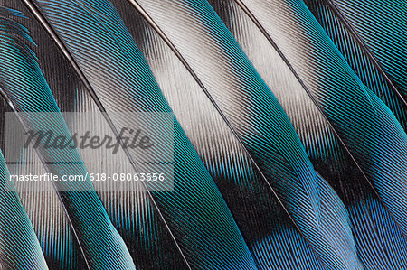 Lovebird Tail Feather Design Stock Photo - Premium Royalty-Free, Image code: 618-08063656