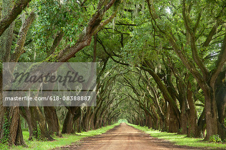 Oak tree lined dirt road Stock Photo - Premium Royalty-Free, Image code: 618-08388887