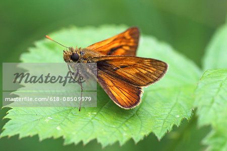 large skipper ochlodes sylvanus Stock Photo - Premium Royalty-Free, Image code: 618-08509979