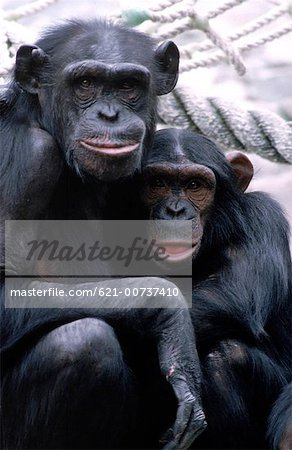 Chimpanzees Stock Photo - Premium Royalty-Free, Image code: 621-00737410