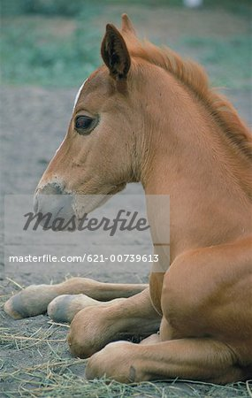 Foal Resting Stock Photo - Premium Royalty-Free, Image code: 621-00739613