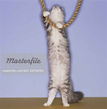 Adventurous Cat Reaching Up to Climb Rope Stock Photo - Premium Royalty-Free, Image code: 621-00792752
