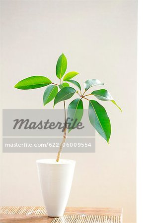 Vase As Plant Pot On Table Stock Photo - Premium Royalty-Free, Image code: 622-06009554