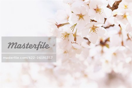 Close-Up View Of Cherry Blossoms Stock Photo - Premium Royalty-Free, Image code: 622-06191357
