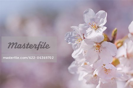 Cherry Blossoms Stock Photo - Premium Royalty-Free, Image code: 622-06369702