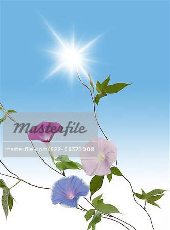 Japanese morning glory and light Stock Photo - Premium Royalty-Free, Image code: 622-06370008