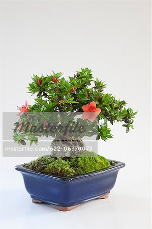 Mini bonsai of Azalea Stock Photo - Premium Royalty-Free, Image code: 622-06370073