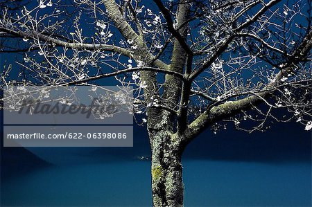 Tree at night in Asago, Hyogo Stock Photo - Premium Royalty-Free, Image code: 622-06398086