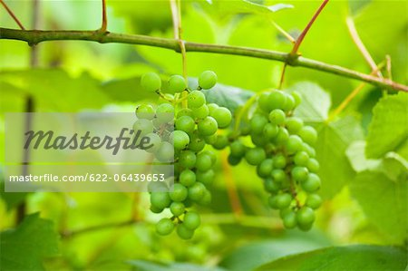 Close up of grapevines in Tochigi Prefecture Stock Photo - Premium Royalty-Free, Image code: 622-06439653
