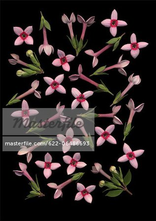 Bouvardia flowers on black background Stock Photo - Premium Royalty-Free, Image code: 622-06486693