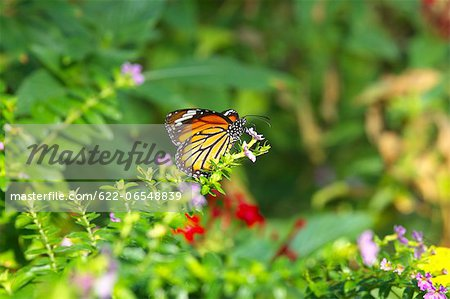 Common Tiger butterfly Stock Photo - Premium Royalty-Free, Image code: 622-06548839