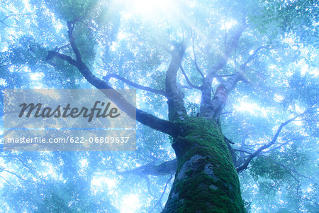 Large beech tree wrapped in morning fog Stock Photo - Premium Royalty-Free, Image code: 622-06809637