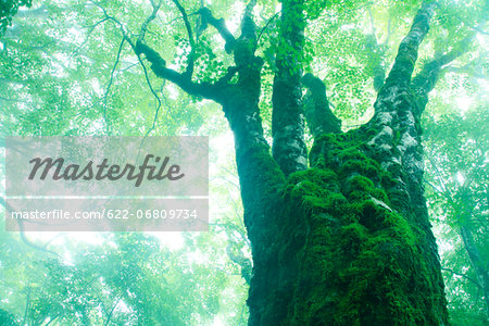 Large maple tree in the fog Stock Photo - Premium Royalty-Free, Image code: 622-06809734