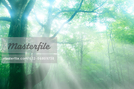 Trees in the fog Stock Photo - Premium Royalty-Free, Image code: 622-06809738