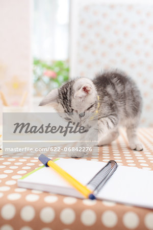 American Shorthair Stock Photo - Premium Royalty-Free, Image code: 622-06842276