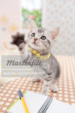 American Shorthair Stock Photo - Premium Royalty-Free, Image code: 622-06842277