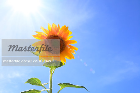 Sunflower and sky Stock Photo - Premium Royalty-Free, Image code: 622-06842628