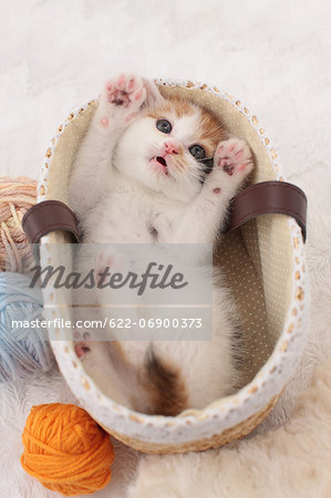 Tortoiseshell cat Stock Photo - Premium Royalty-Free, Image code: 622-06900373