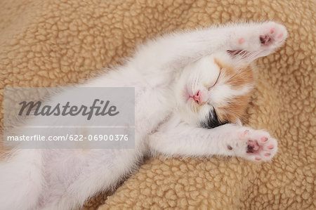 Tortoiseshell cat Stock Photo - Premium Royalty-Free, Image code: 622-06900376