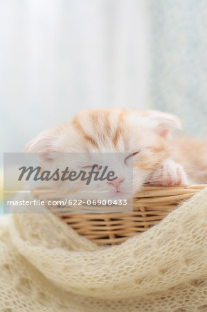 Scottish Fold Stock Photo - Premium Royalty-Free, Image code: 622-06900433